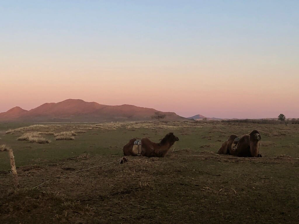 Camels at sunset, Mongolia